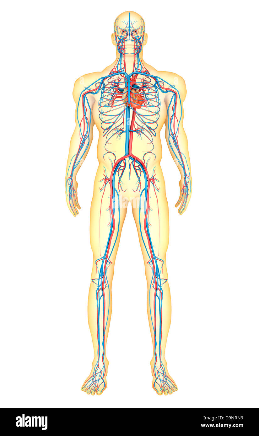 Anatomy Of Human Body And Circulatory System Front View Stock Photo