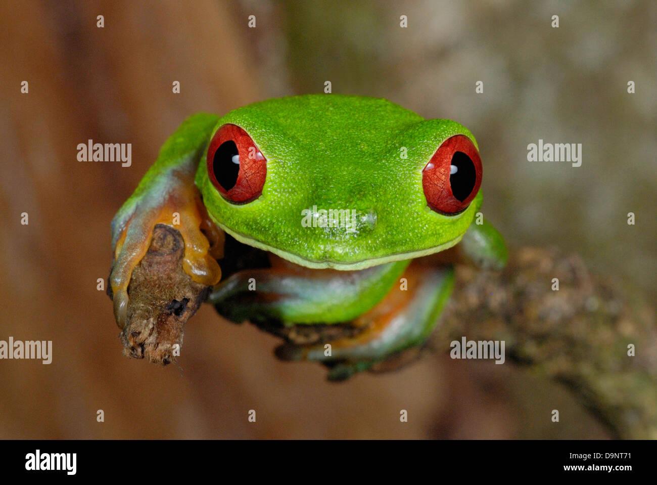 Red-eyed Treefrog (Agalychnis callidryas) in Costa Rica rainforest - Stock Image