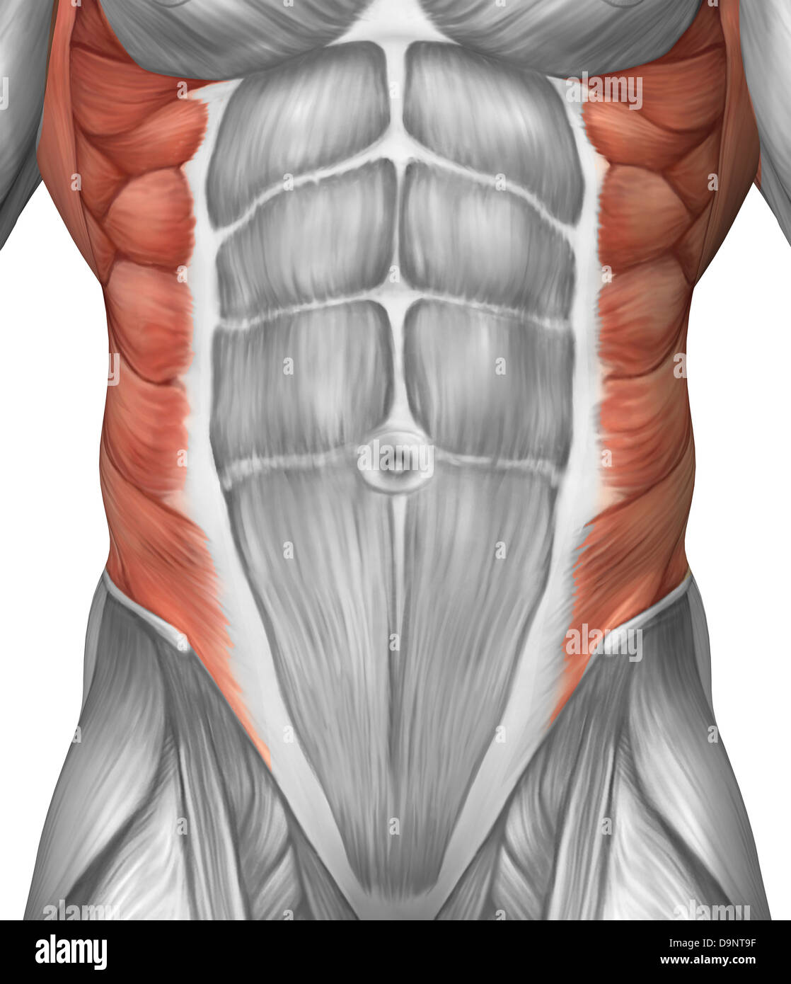 Male muscle anatomy of the abdominal wall. - Stock Image