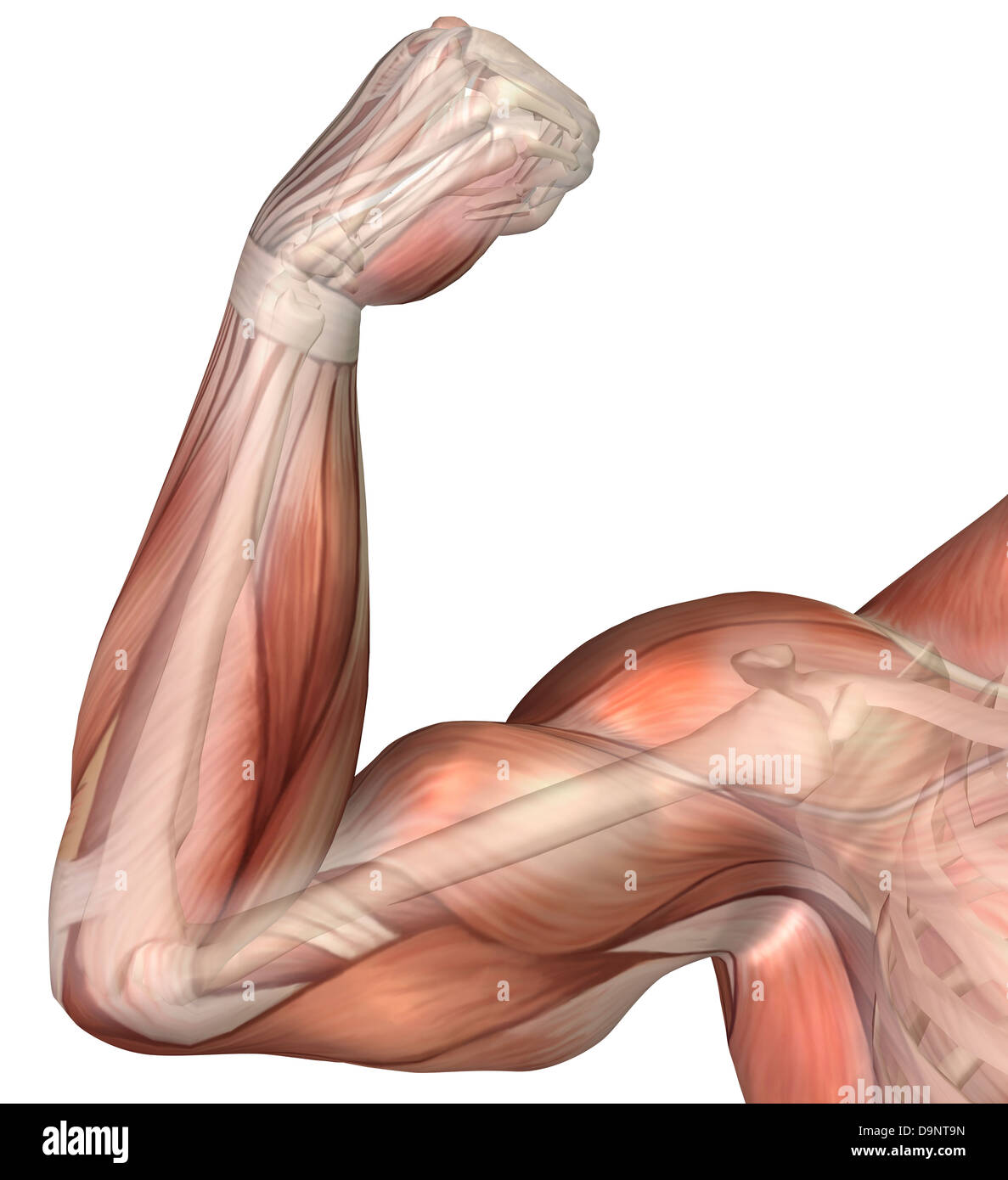 Illustration Of A Flexed Arm Showing Human Bicep Muscle Stock Photo