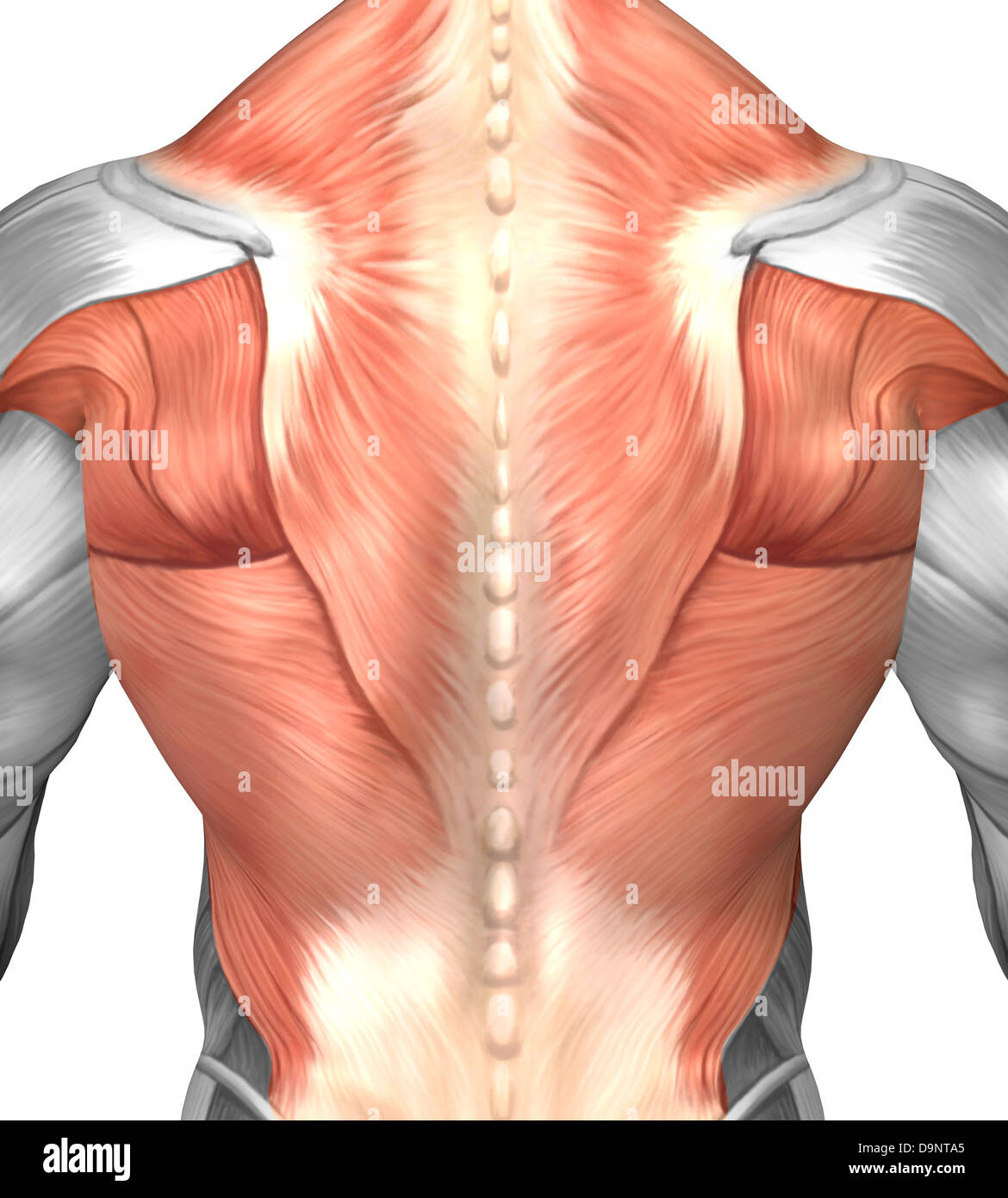 Spine Muscles Stock Photos & Spine Muscles Stock Images - Alamy