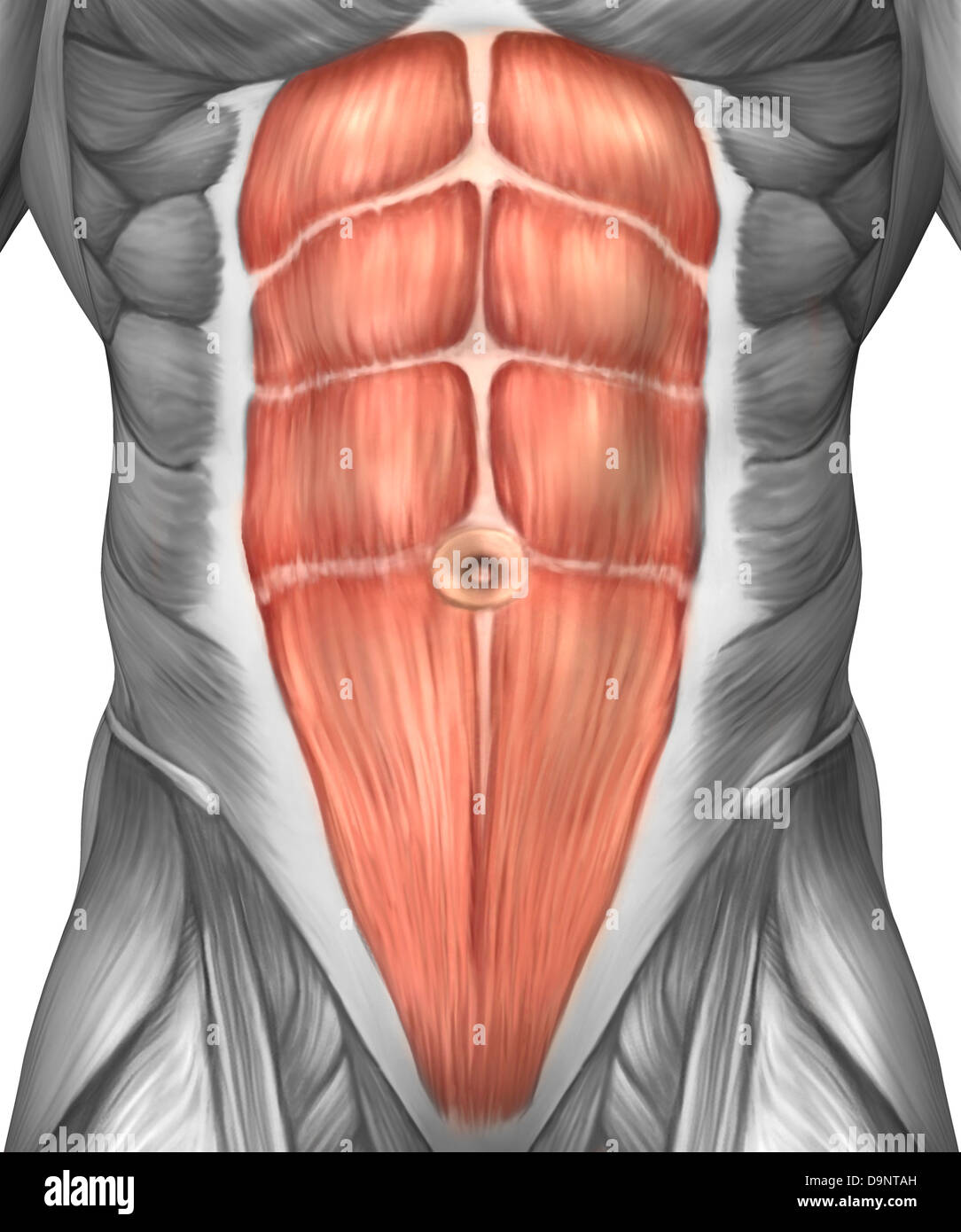 Close Up View Of Male Abdominal Muscles Stock Photo 57643113 Alamy