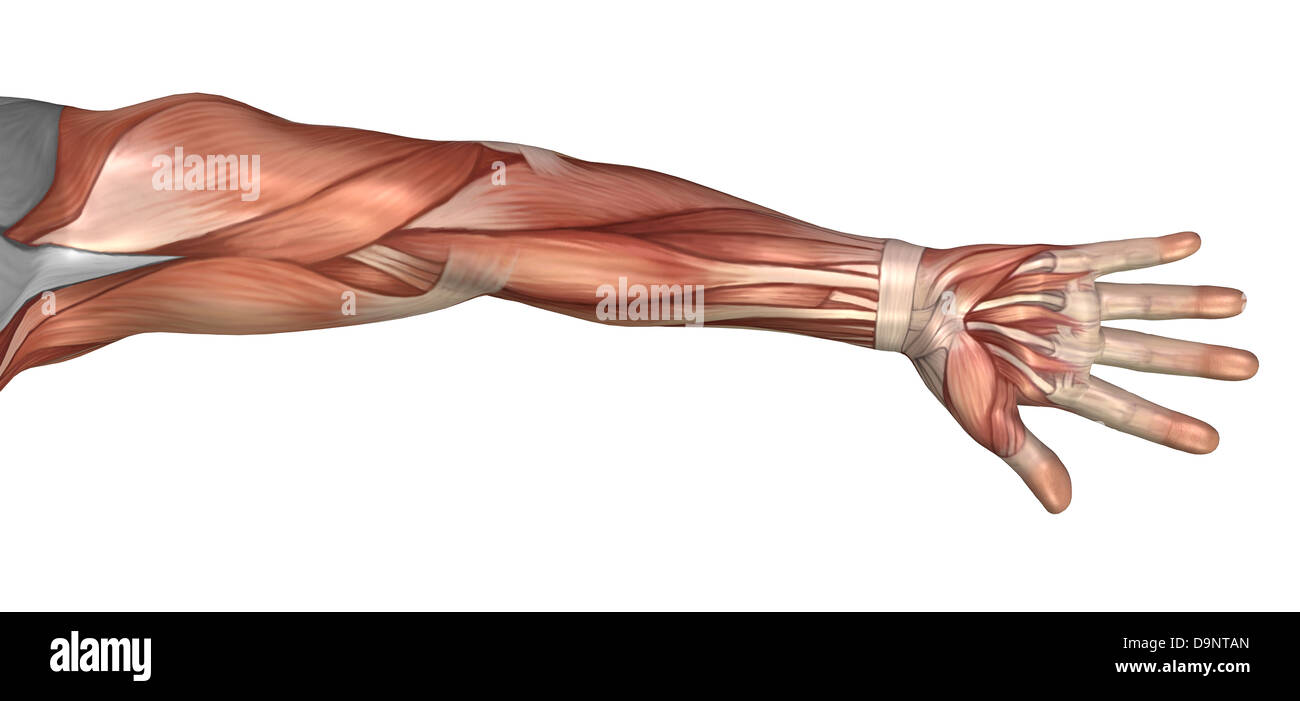 Muscle anatomy of the human arm, anterior view. - Stock Image