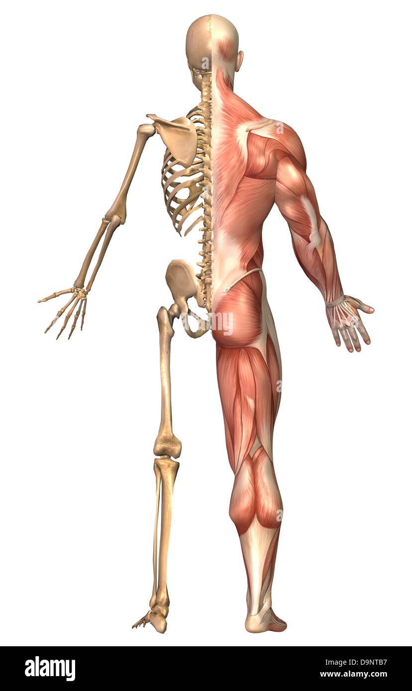 Muscular System Cut Out Stock Images Pictures Alamy