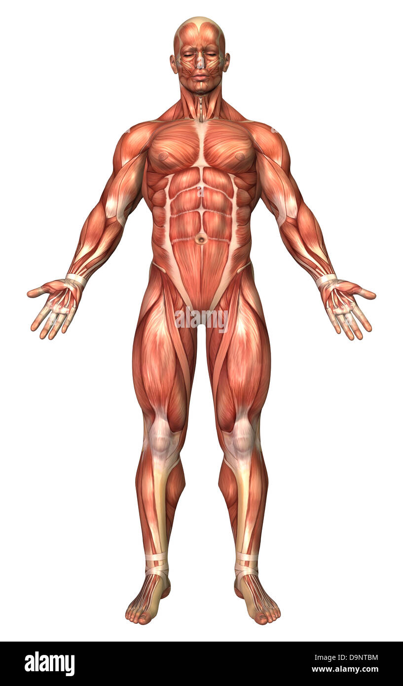 Anatomy of male muscular system, front view Stock Photo: 57643144 ...