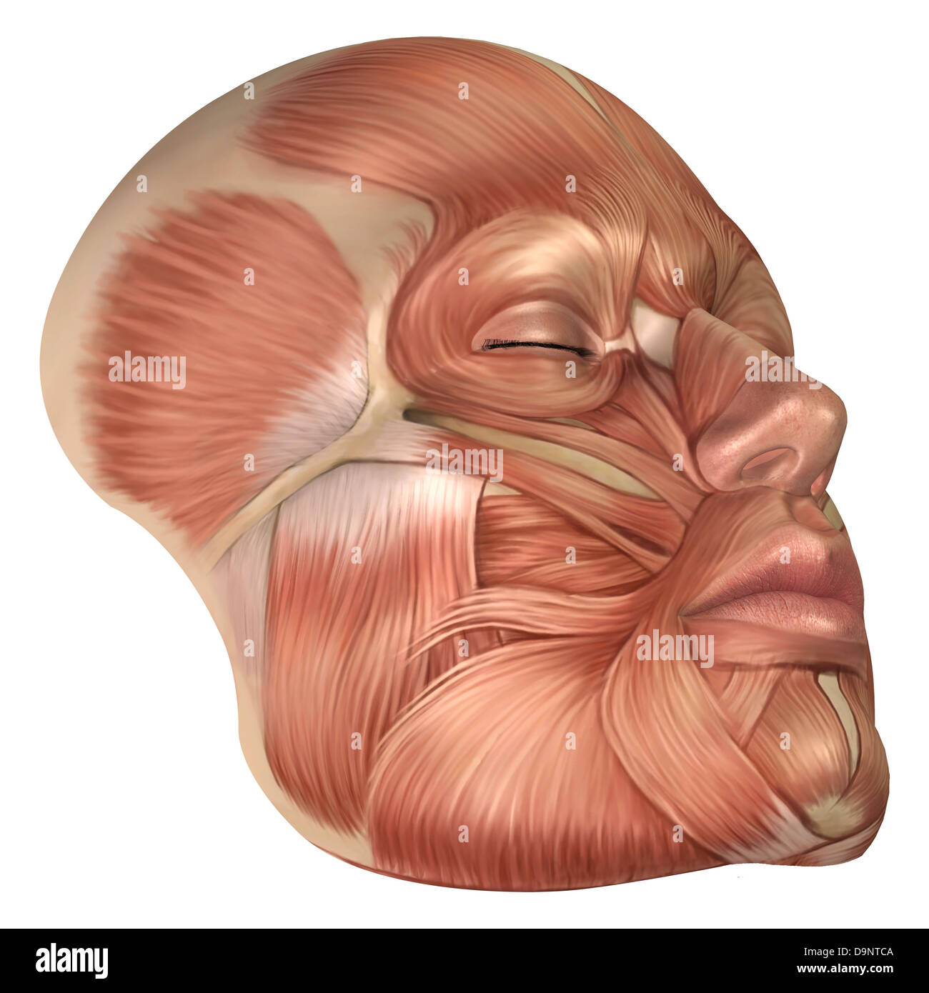 Anatomy of human face muscles Stock Photo: 57643162 - Alamy