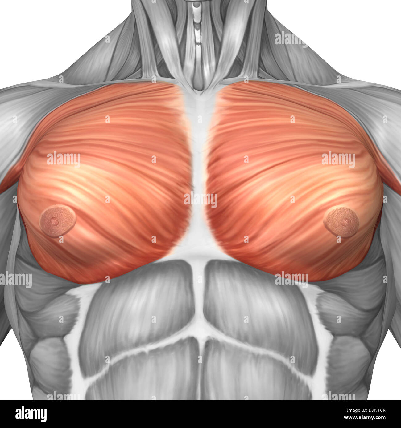Anatomy of male pectoral muscles Stock Photo: 57643175 - Alamy