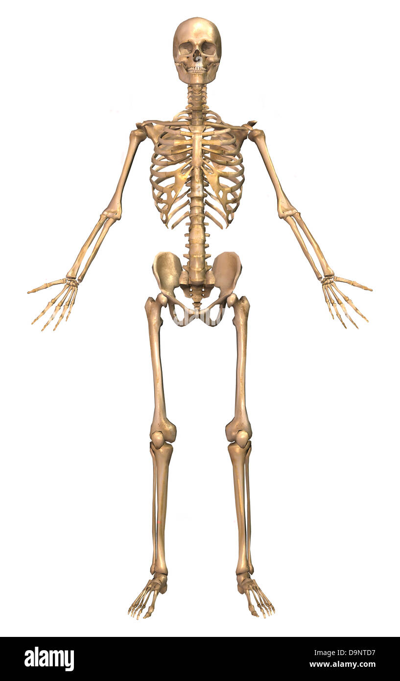Appendicular Skeleton Stock Photos & Appendicular Skeleton Stock ...
