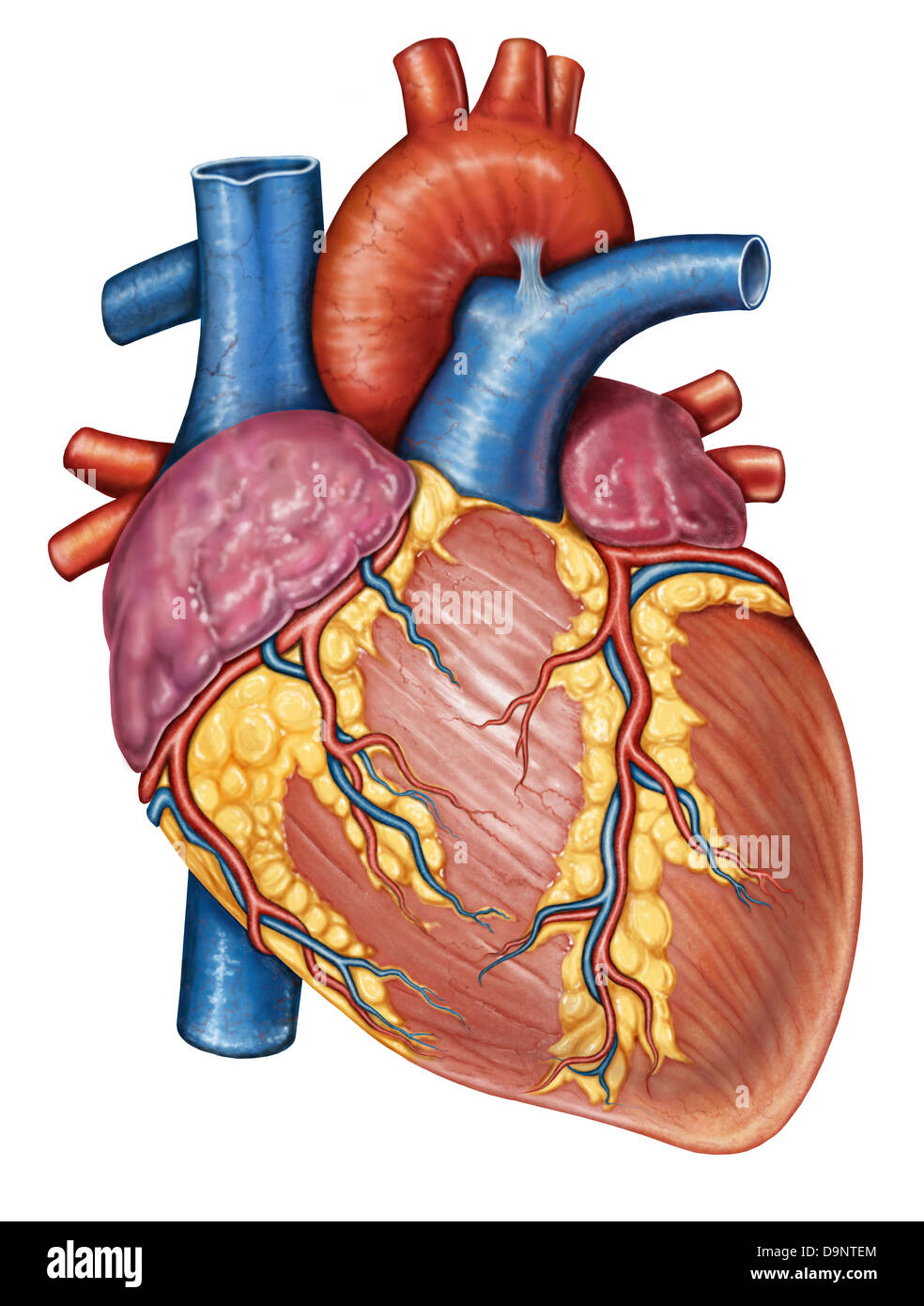 Gross anatomy of the human heart. - Stock Image