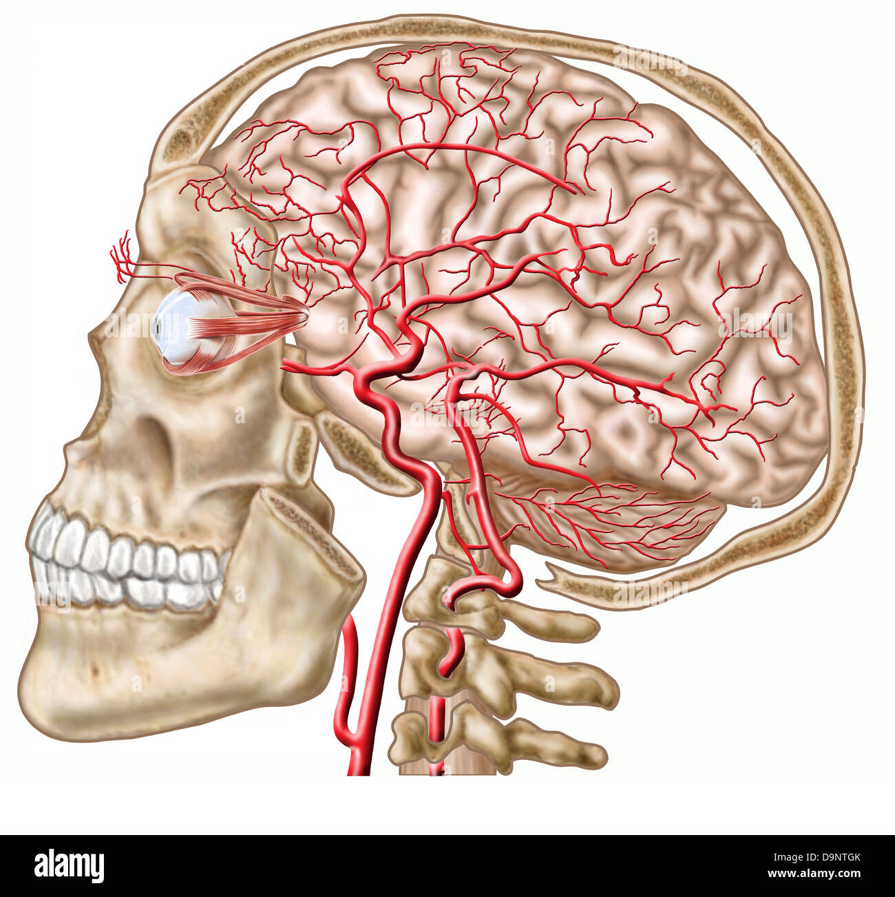 Anatomy of human skull, eyeball and arteries to brain Stock Photo ...