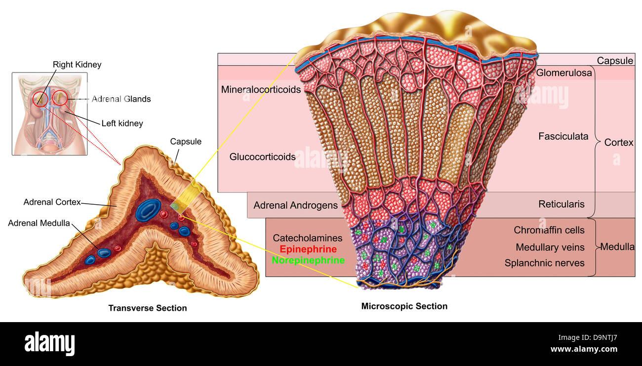 Anatomy Of Adrenal Gland Cross Section Stock Photo 57643327 Alamy