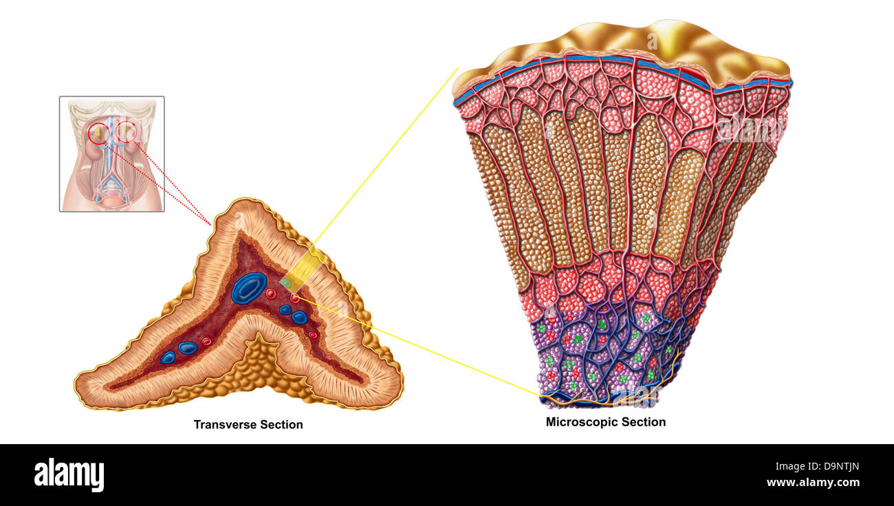 Anatomy of adrenal gland, cross section. - Stock Image