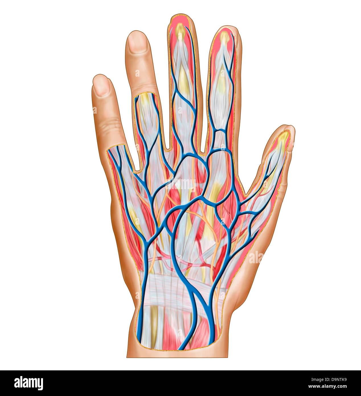 Anatomy Of Back Of Human Hand Stock Photo 57643357 Alamy