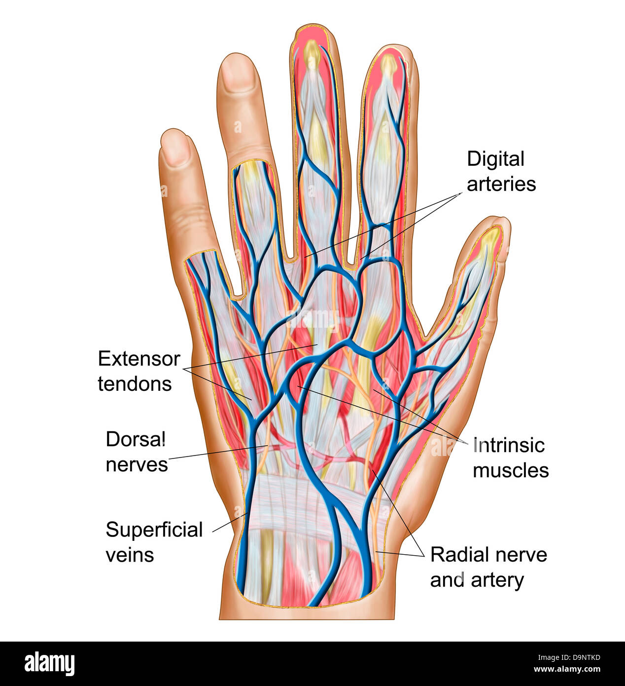 anatomy of back of human hand D9NTKD nerves hand stock photos & nerves hand stock images alamy