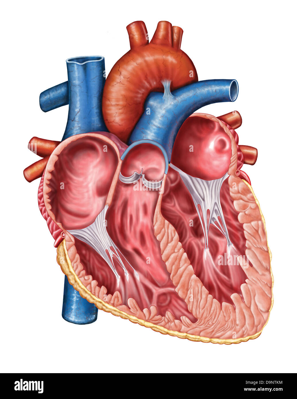 Human Heart Dissection Stock Photos Human Heart Dissection Stock