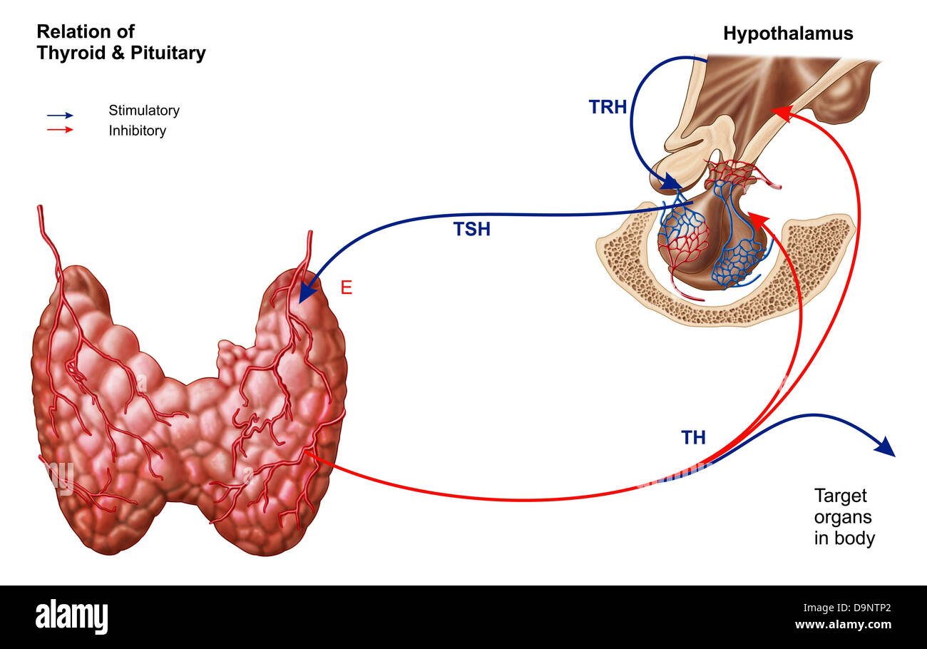 Relation of thyroid and pituitary gland. - Stock Image