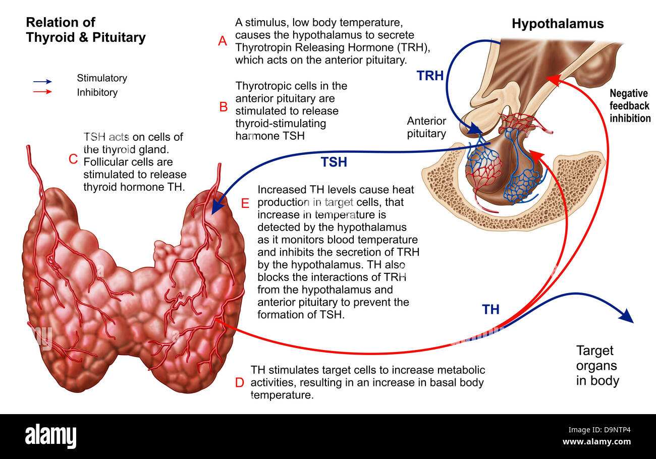Hormone Hypothalamus Anatomy Diagram Stock Photos Hormone