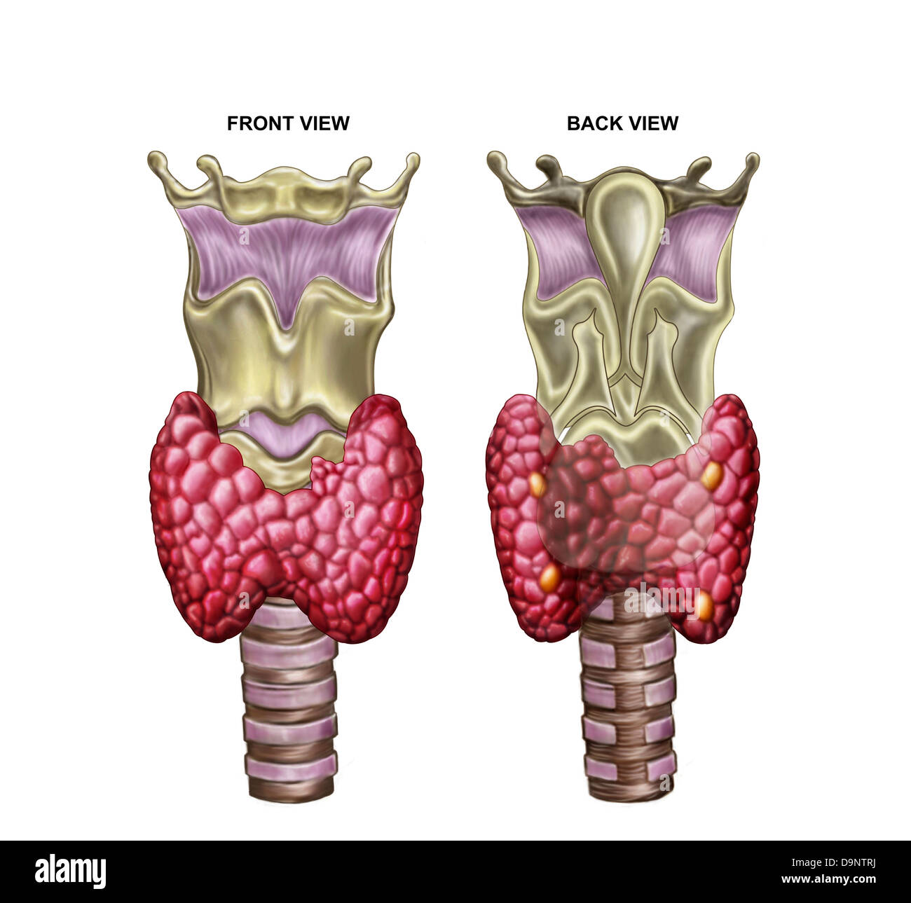 Anatomy of thyroid gland with larynx & cartilage. - Stock Image