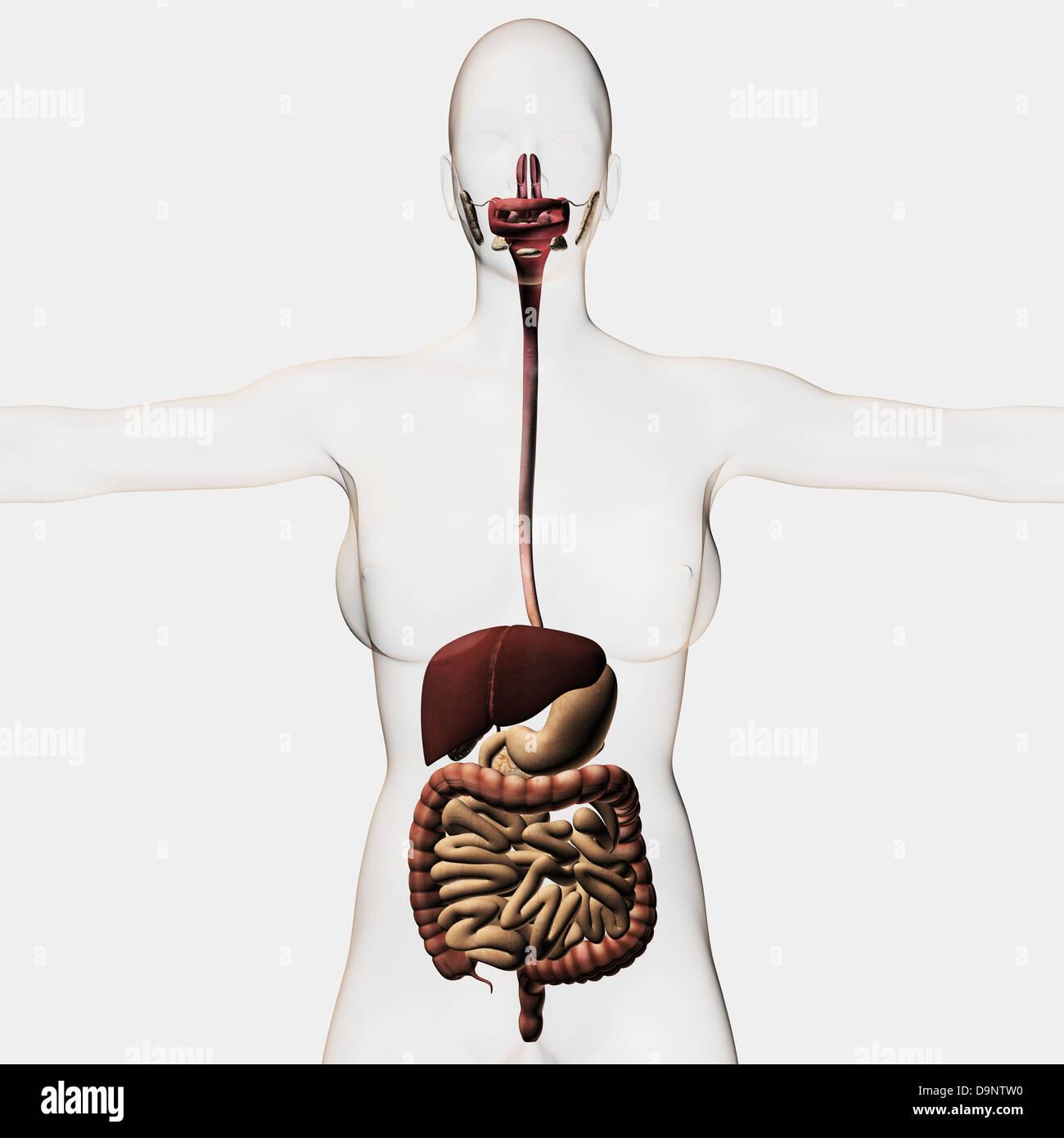 Medical Illustration Of The Human Digestive System Three