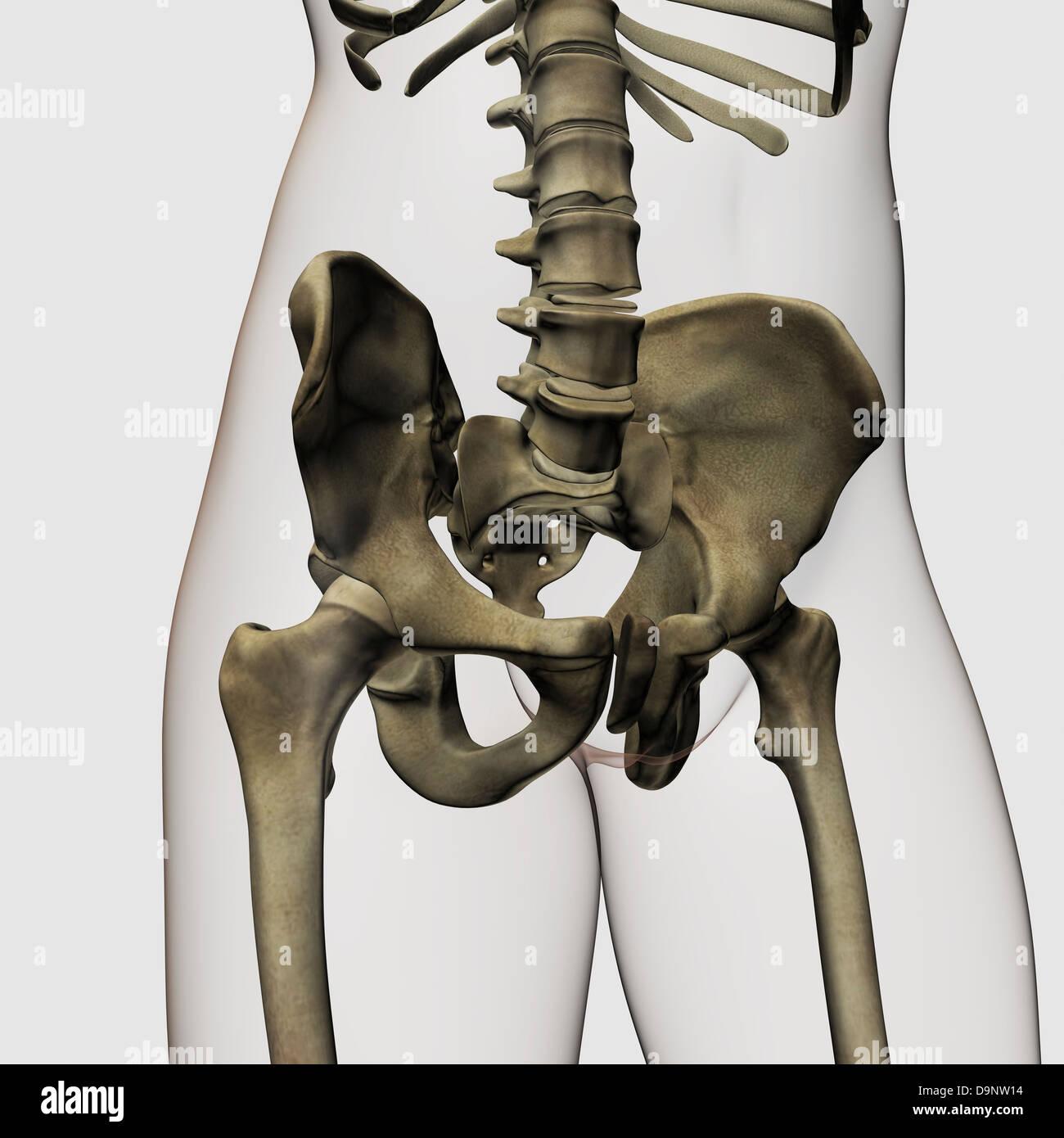 Three dimensional view of human pelvic bones. - Stock Image