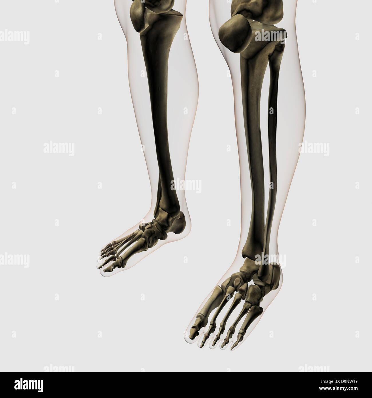 Feet Skeleton Stock Photos Feet Skeleton Stock Images Alamy