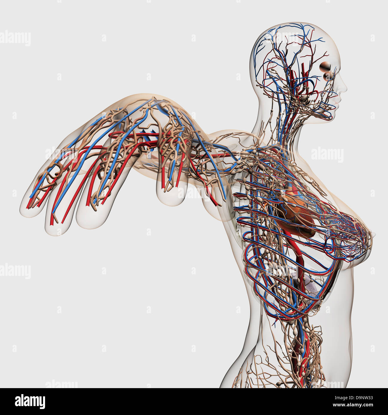 Female lymphatic system stock photos female lymphatic system stock medical illustration of arteries veins and lymphatic system with heart profile view of female ccuart Images