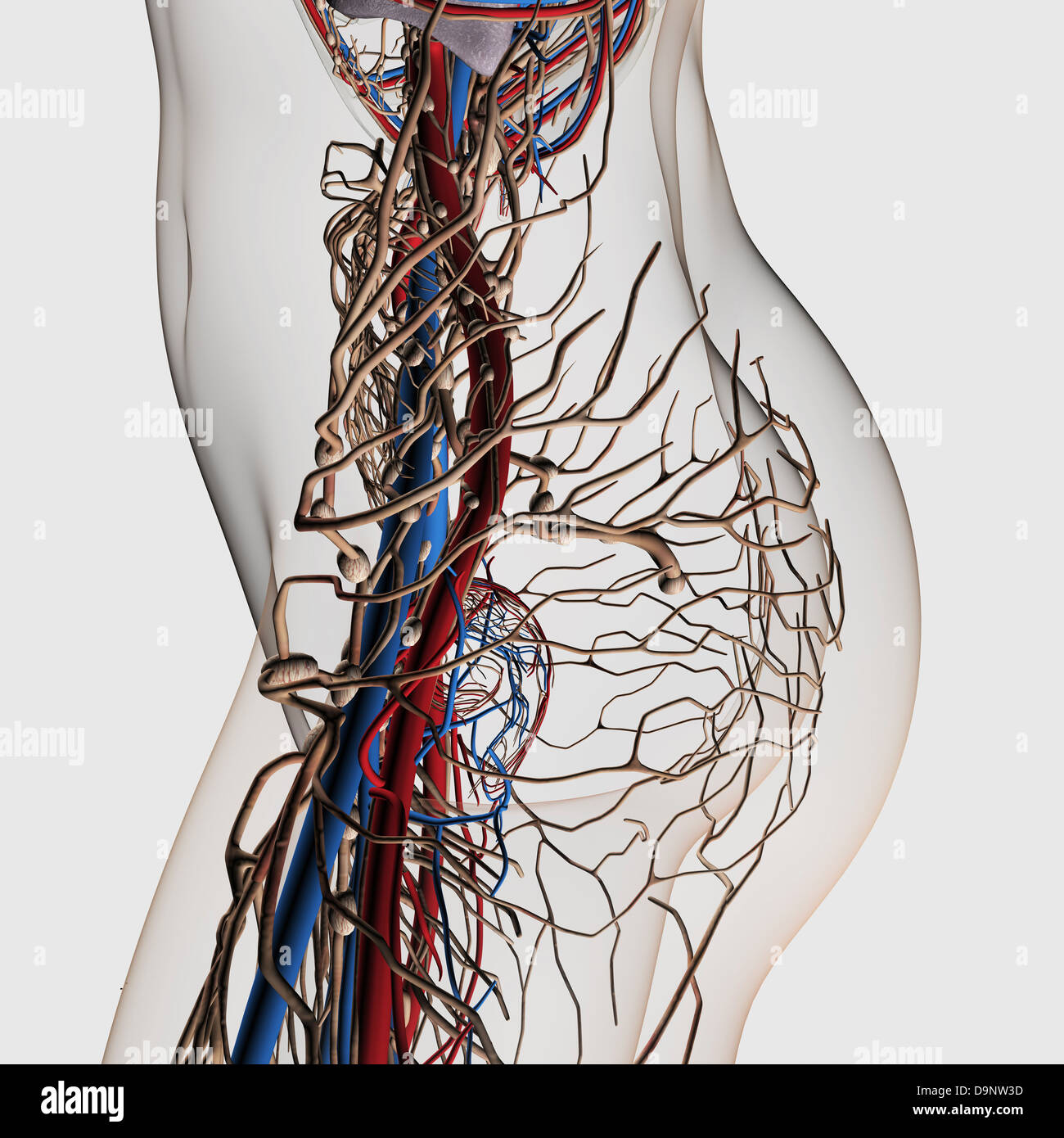 Medical illustration of arteries veins and lymphatic system in medical illustration of arteries veins and lymphatic system in female midsection side view ccuart Images