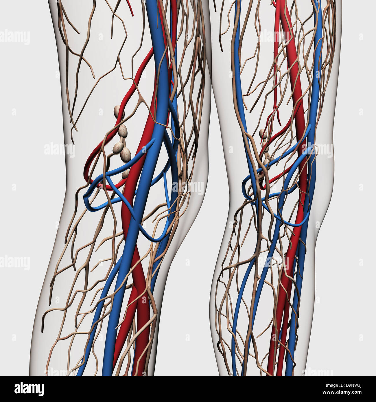 Peroneal Artery Stock Photos Peroneal Artery Stock Images Alamy