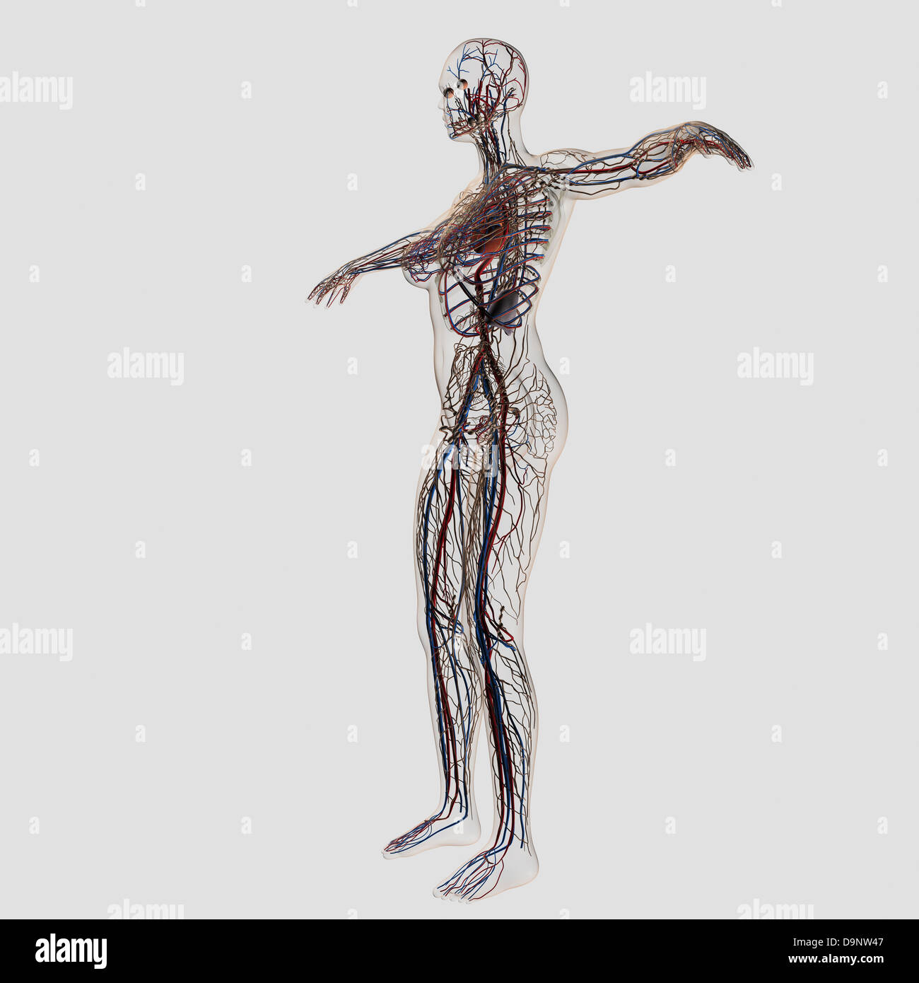 Female Lymphatic System Stock Photos Female Lymphatic System Stock