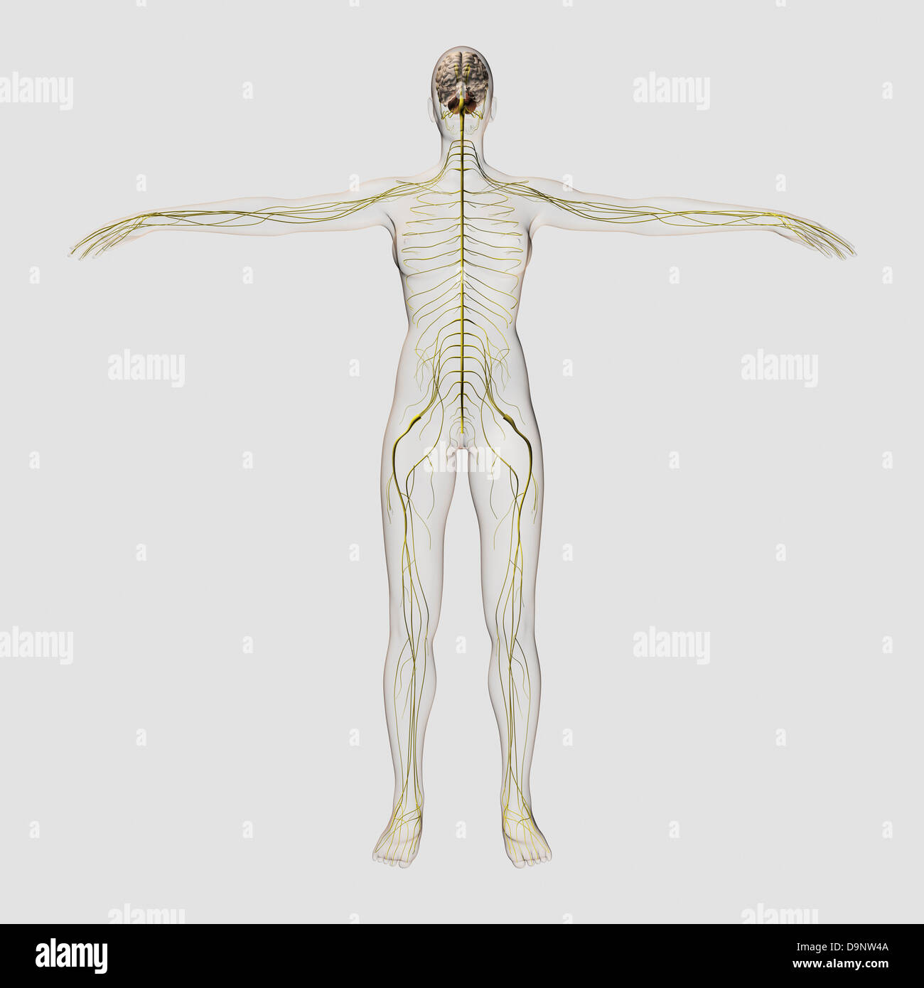 Medical illustration of the human nervous system and brain, full frontal view. - Stock Image