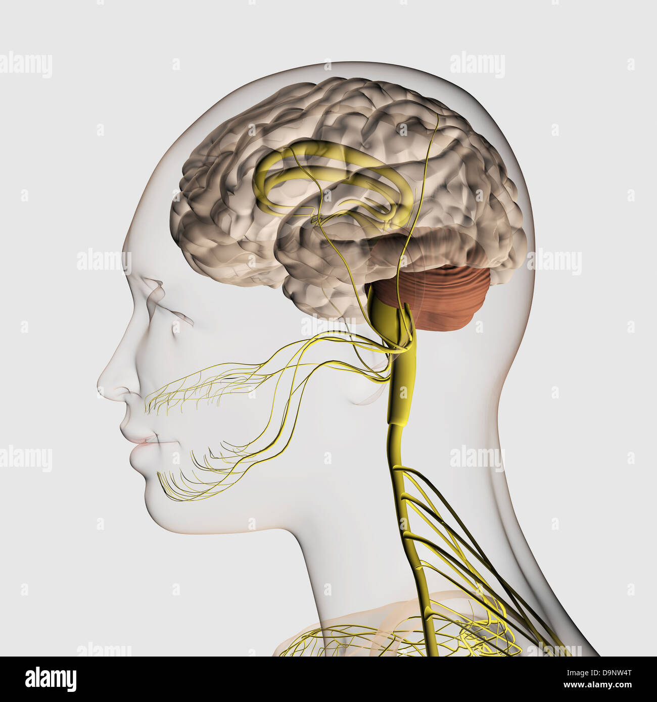 Medical illustration of the human nervous system and brain, close-up. - Stock Image