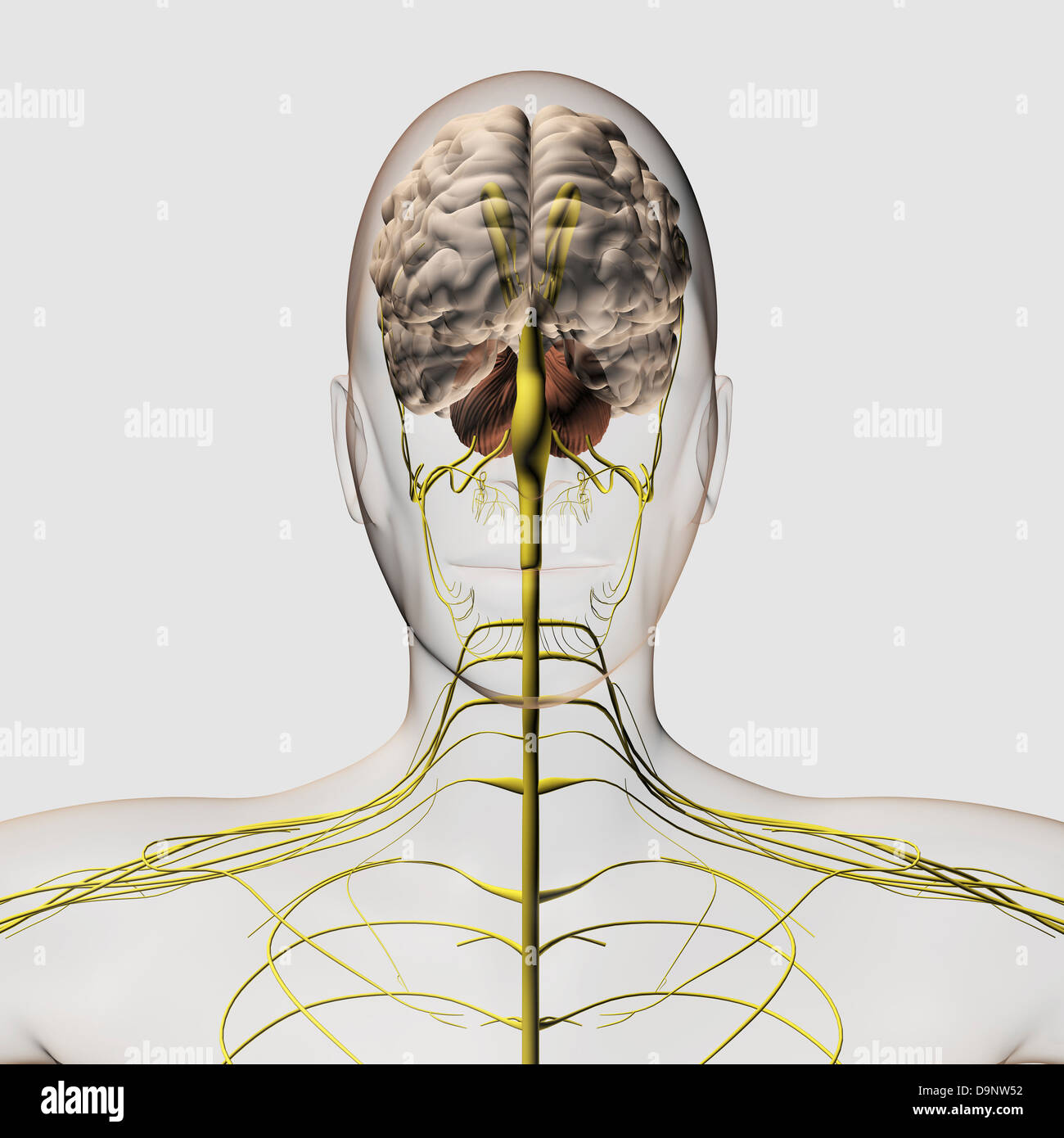 Medical illustration of the human nervous system and brain, front view. - Stock Image