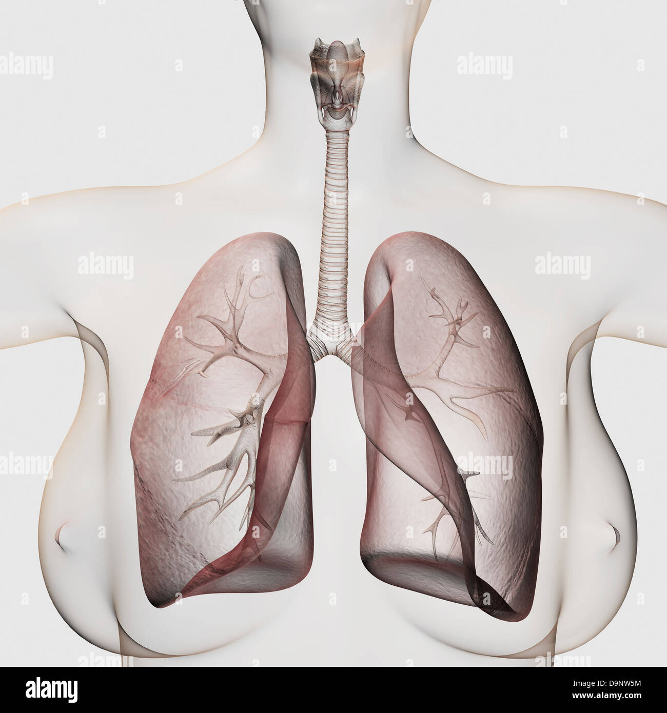 Three dimensional view of the female respiratory system, close-up. - Stock Image