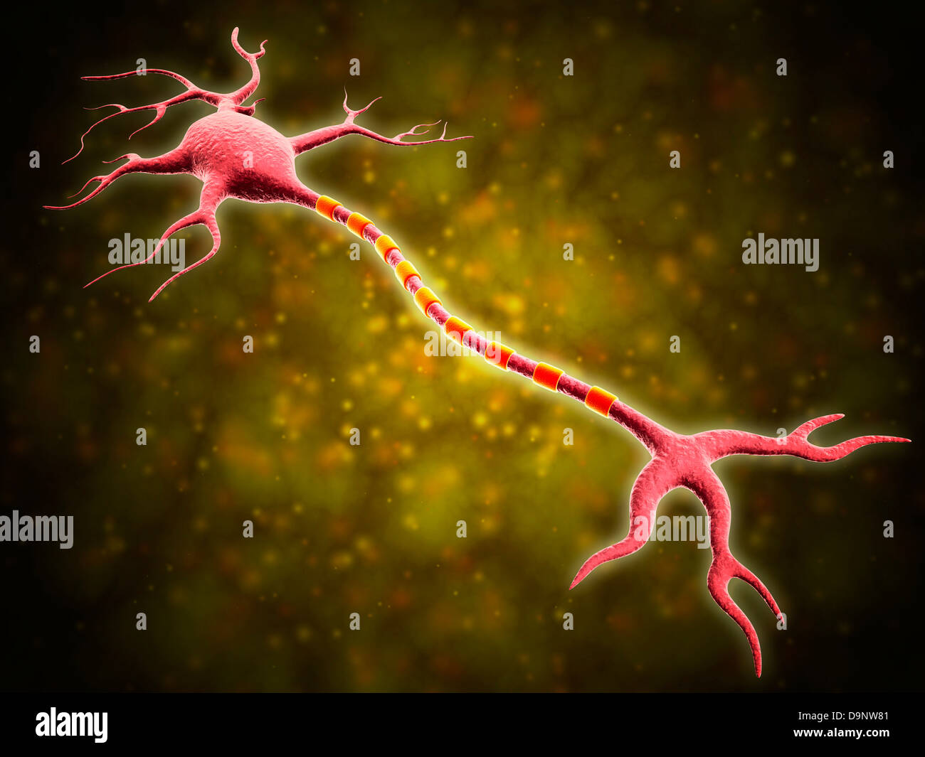Microscopic view of a multipolar neuron. Multipolar neurons possess a single axon and many dendrites. - Stock Image