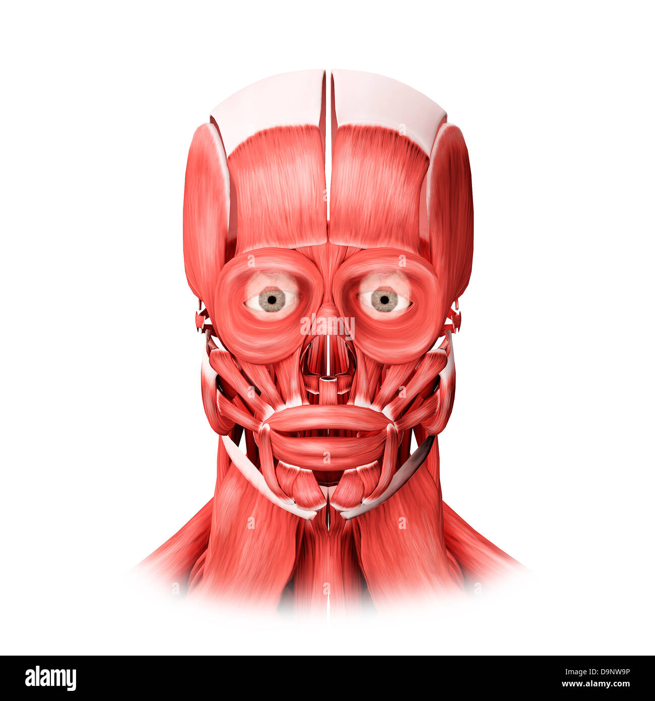 Medical Illustration Of Male Facial Muscles Front View Stock Photo