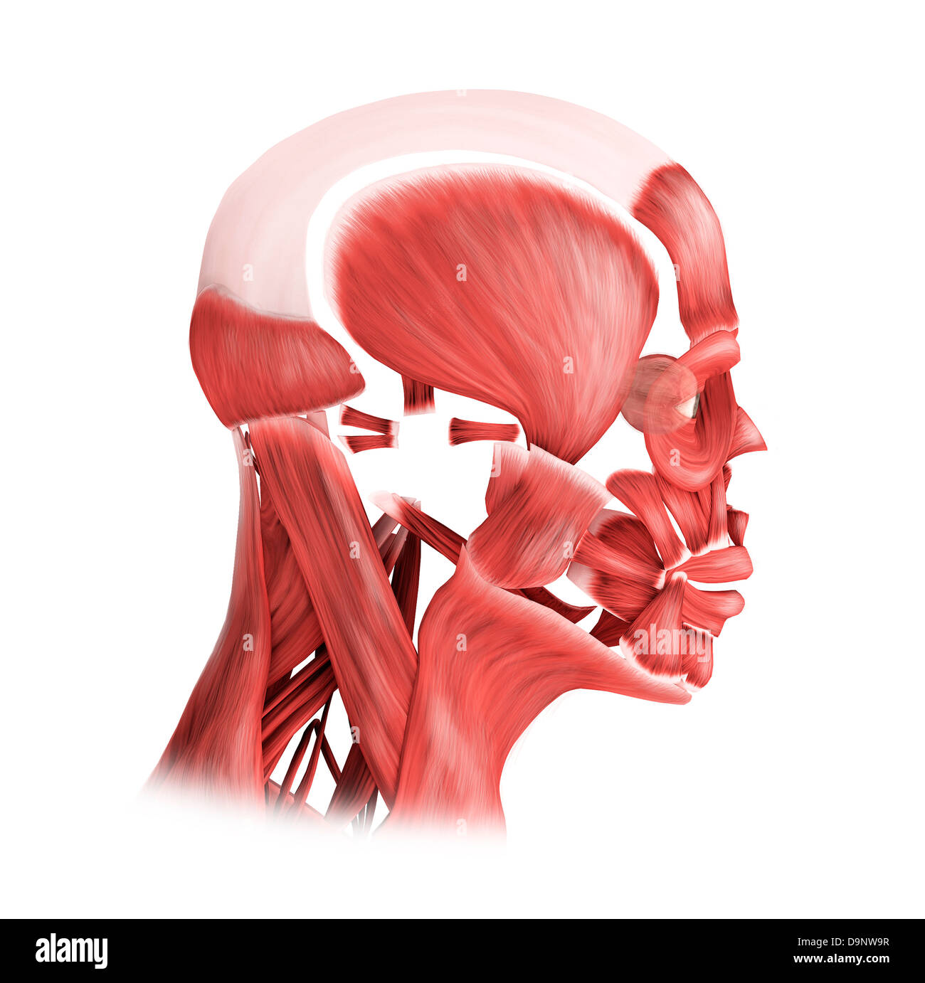 Medical illustration of male facial muscles, side view. Stock Photo
