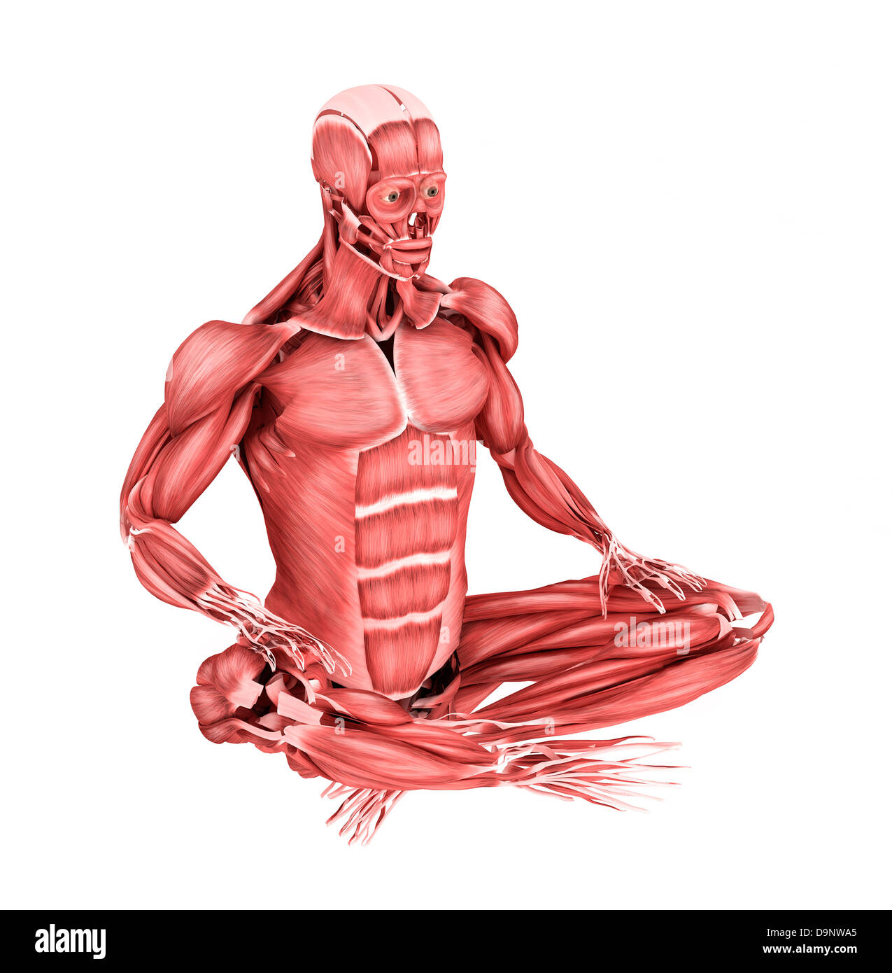 Anatomy Male Muscular Front View Cut Out Stock Images Pictures Alamy