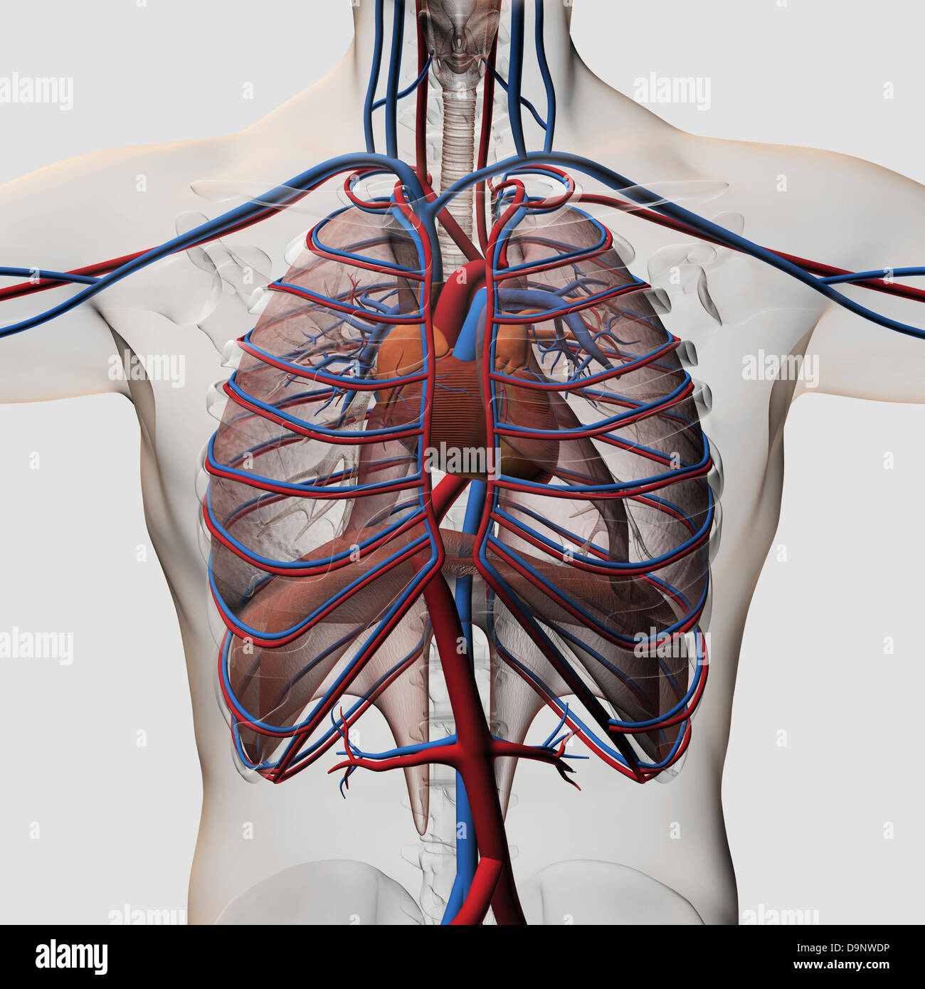 Three dimensional medical illustration of male chest showing arteries, veins, heart and rib cage. - Stock Image