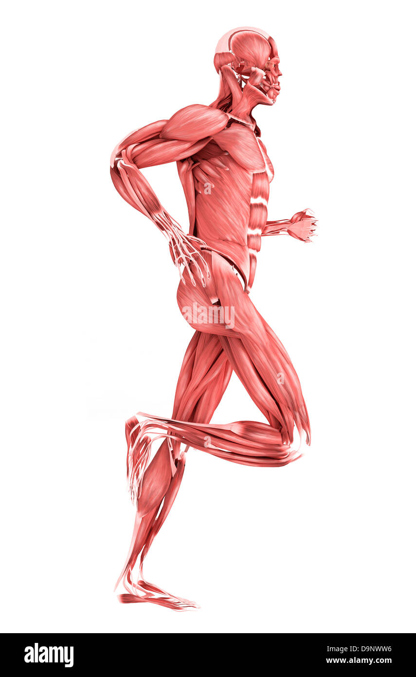 Medical illustration of male muscles running, side view Stock Photo ...