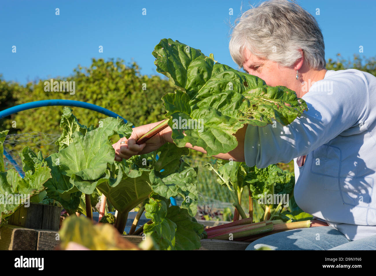 Picking rhubarb in the garden - Stock Image