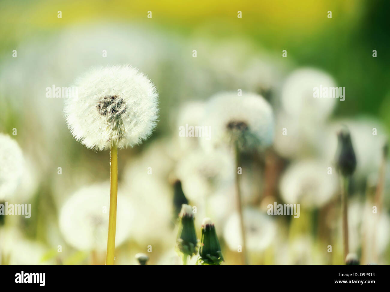 Field of blow-balls in the sunny summer Stock Photo