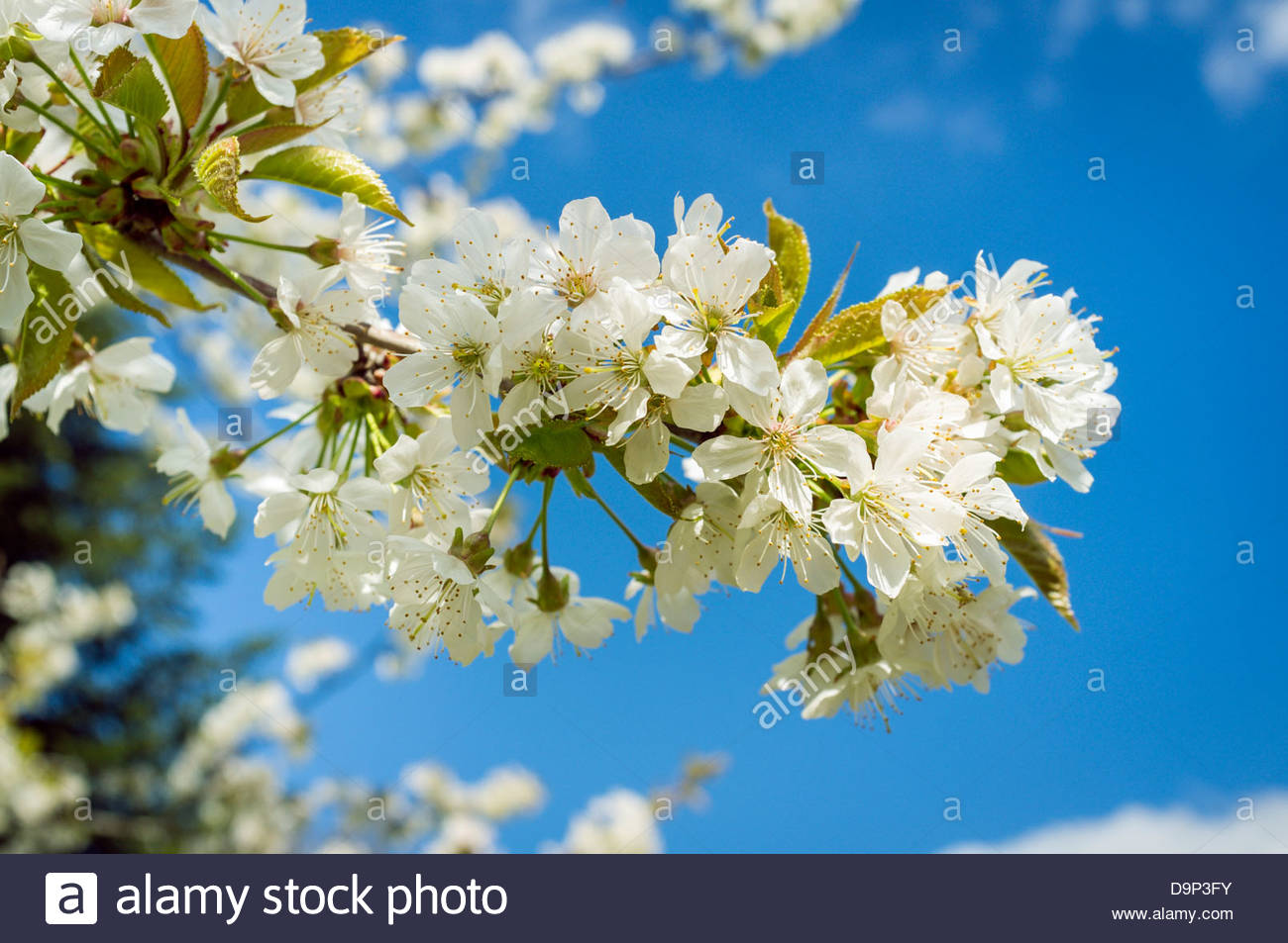Blossoms from wild cherry tree (Prunus avium) in spring - Stock Image