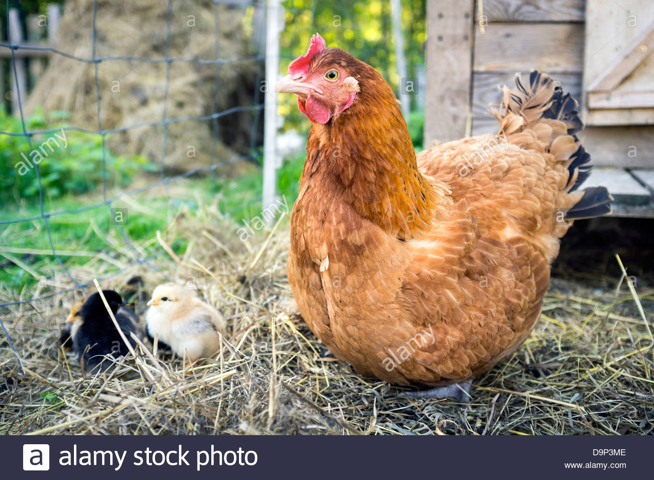 A mother hen chicken with baby chicks in farmyard - Stock Image