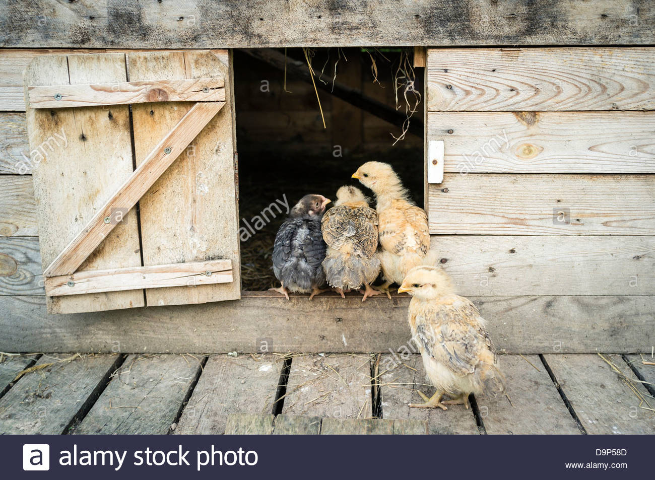 Baby chickens (three-week-old chicks) sitting at the entrance of the chicken coop - Stock Image