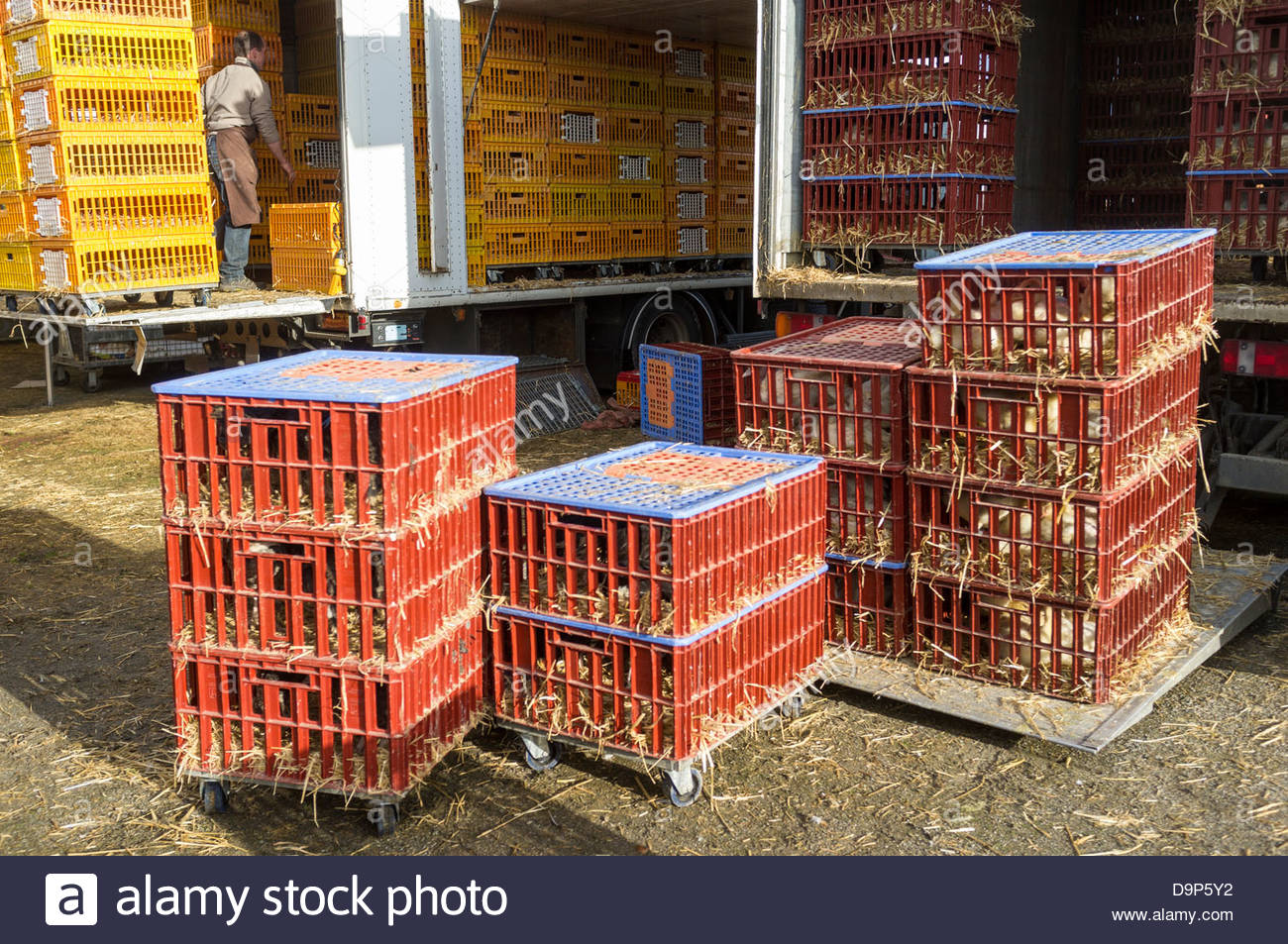 Caged poultry being unloaded at Les Hérolles poultry market, Les Hérolles, Vienne, Poitou-Charentes, France - Stock Image