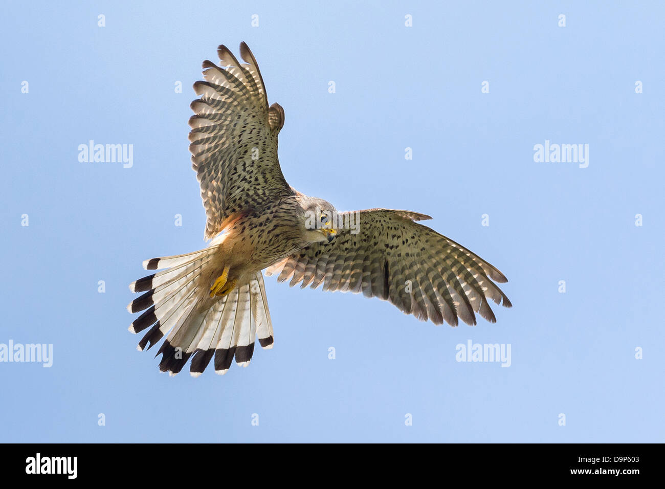 A  male Kestrel (Falco tinnunculus) hovers in flight against perfect blue sky in Pembrokeshire - Stock Image