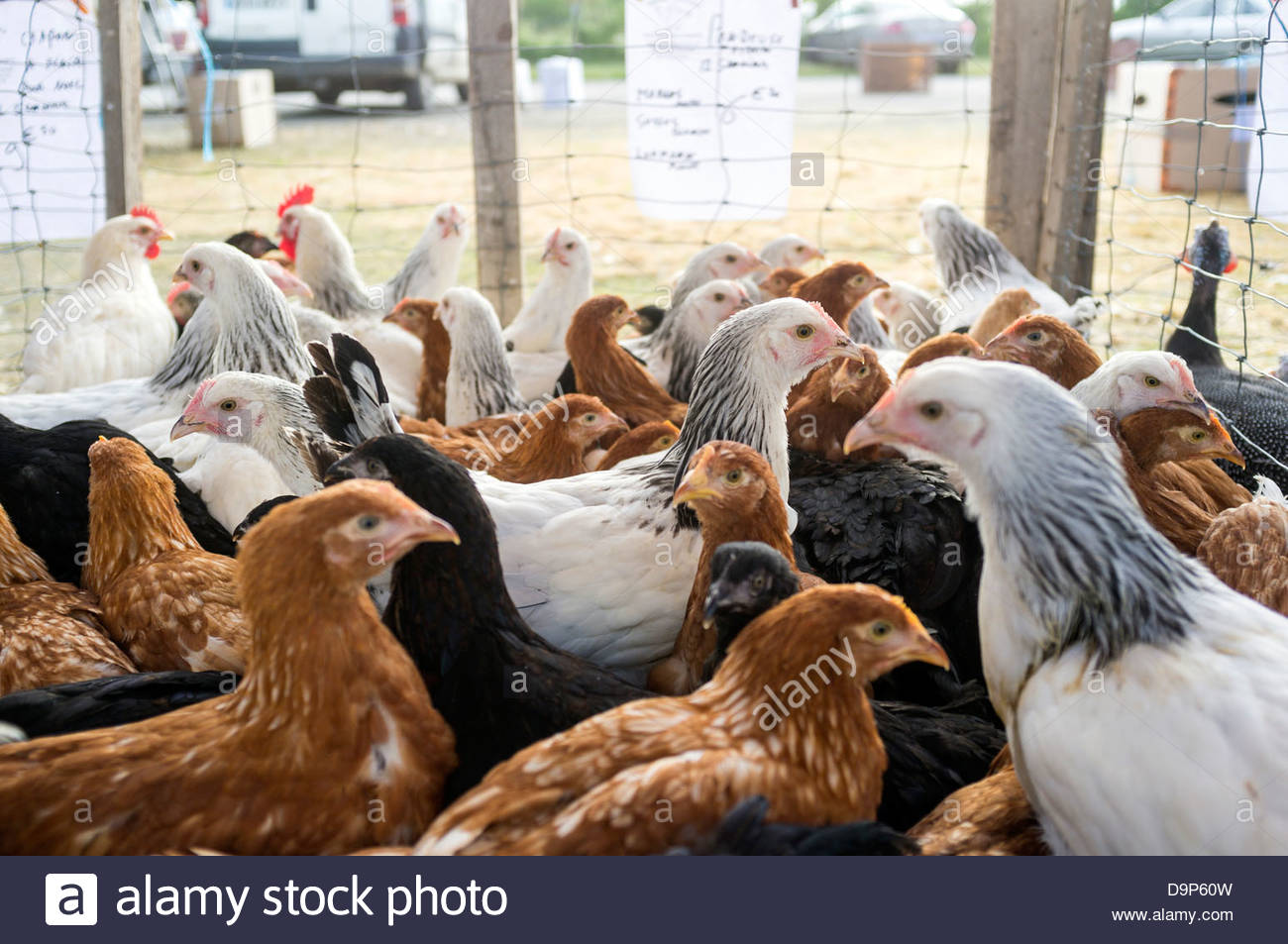 Young chickens for sale at Les Hérolles poultry market, Les Hérolles, Vienne, Poitou-Charentes, France - Stock Image