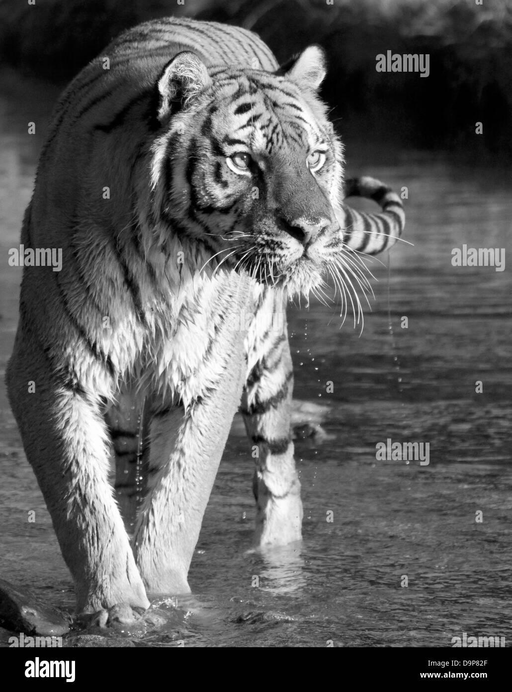 Siberian Tiger walking through a stream. - Stock Image