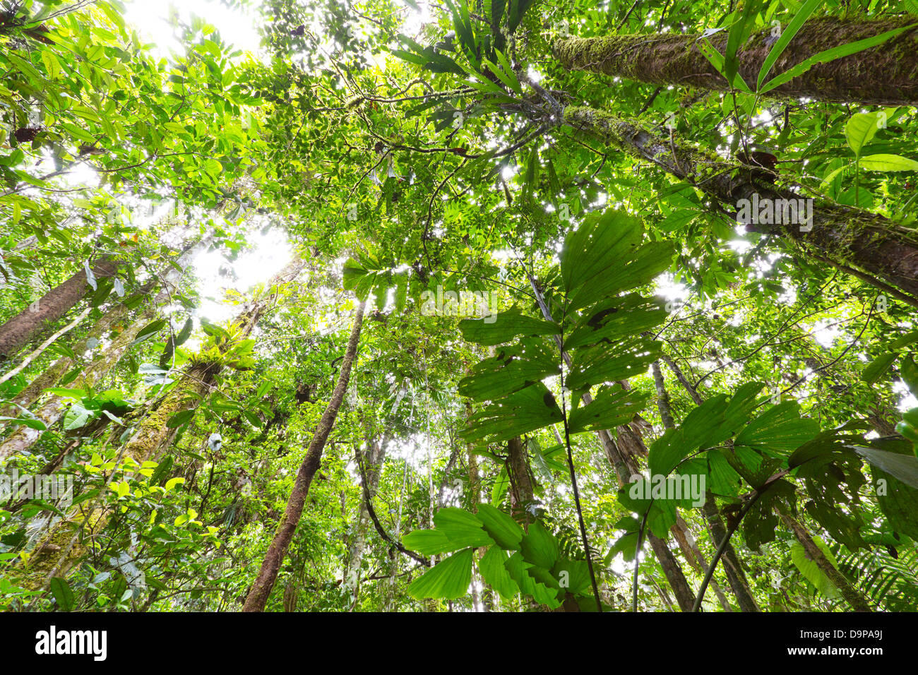 Looking up to the rainforest canopy in the Ecuadorian Amazon & Looking up to the rainforest canopy in the Ecuadorian Amazon Stock ...