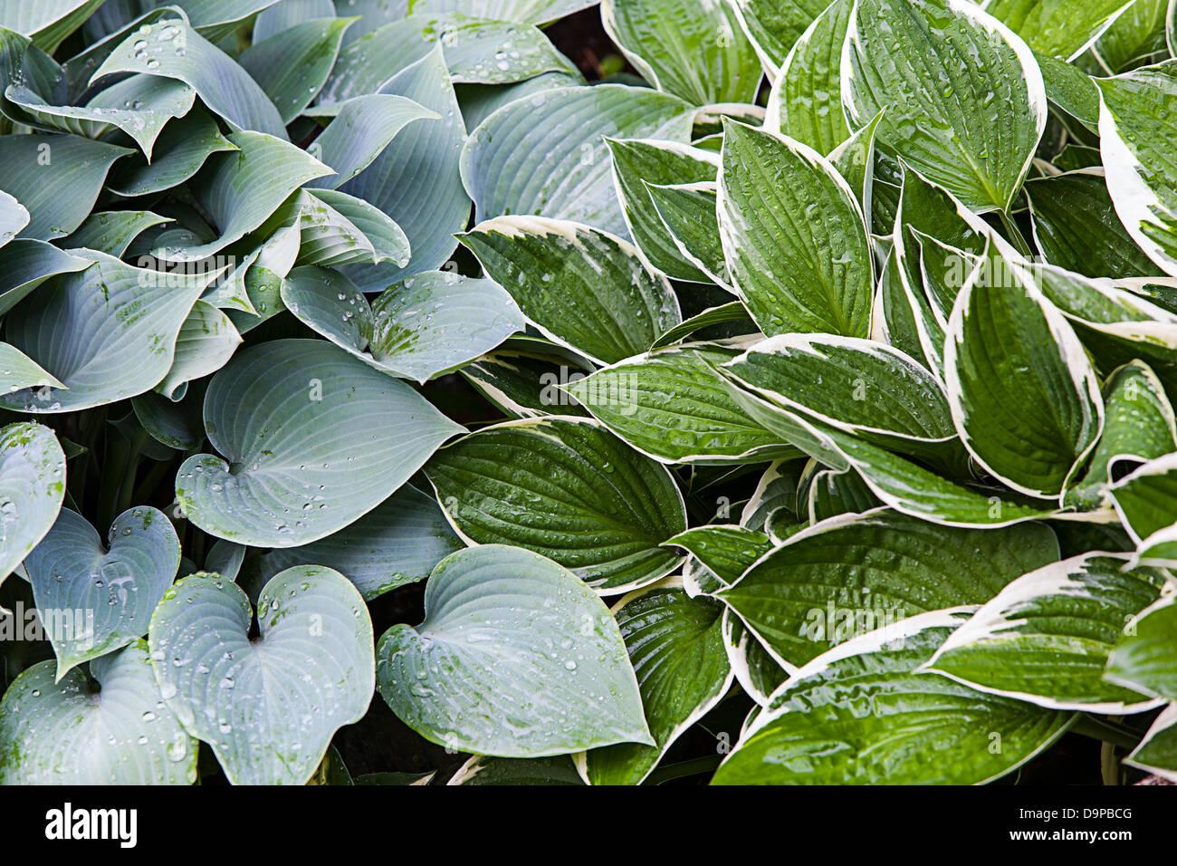 hostas,Asparagaceae,Hosta Francee fortunei,Hosta Halcyon - Stock Image